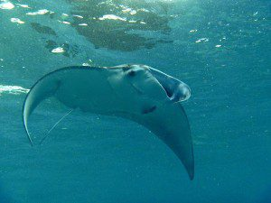 scuba diving, scuba lessons, scuba manta ray, underwater photography